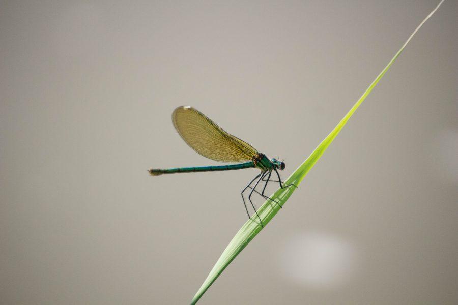Kisasszony szitakötő (Calopteryx virgo)
