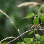 Feketelábú szitakötő (Gomphus vulgatissimus)