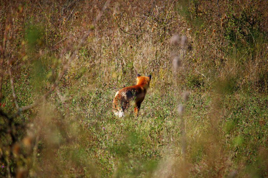 Koronka mellett vadászó róka