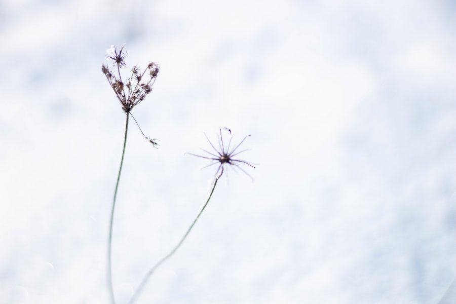Foltos bürök (Conium maculatum)