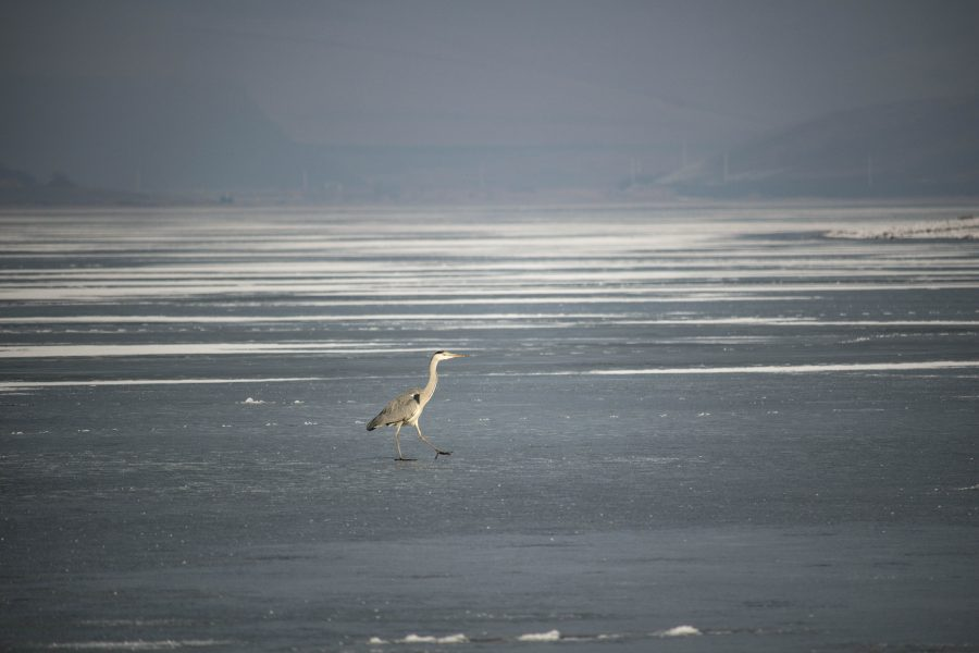 Szürke gém a jégen - Ardea cinerea