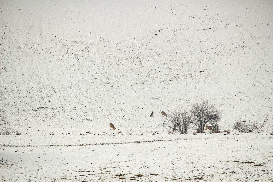 Téli legelés a hóban