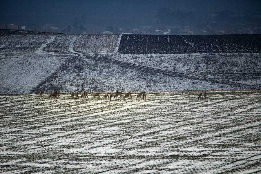 Téli legelés