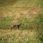 Vadászó róka a sófalvi réten