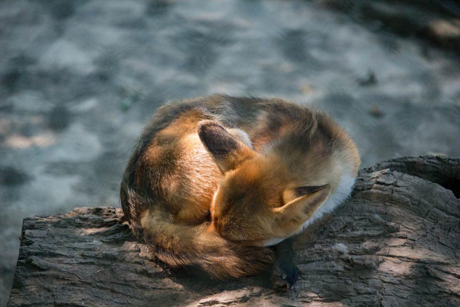 Róka a Marosvásárhelyi állatkertben