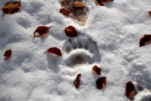 Medve lábnyom a friss hóban