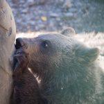 Ursula a Marosvásárhelyi Állatkert kismedvéje