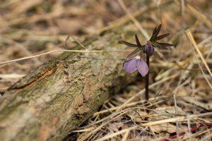 Pirosló hunyor (Helleborus purpurascens)