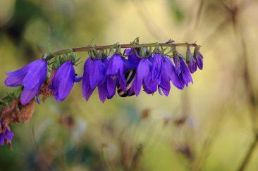 Lila mezei virágok - Erdélyi képek