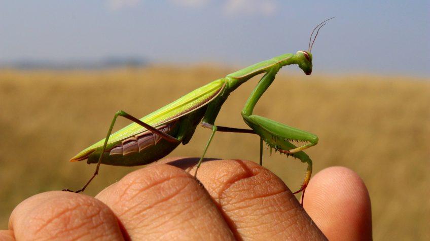 Imádkozó sáska vagy ájtatos manó (Mantis religiosa)