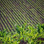 Absztrakt kukoricaföld