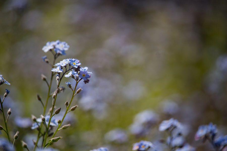 Kék nefelejcs (Myosotis)