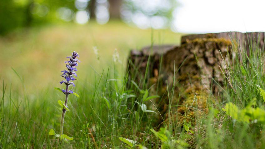 Tavaszi kék virág