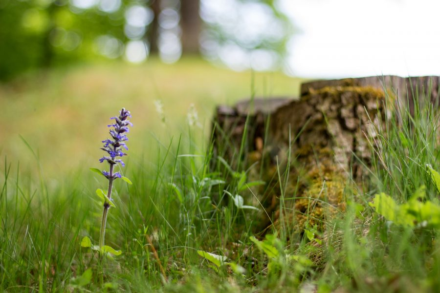 Tavaszi kék virág az ínfüvek családjából
