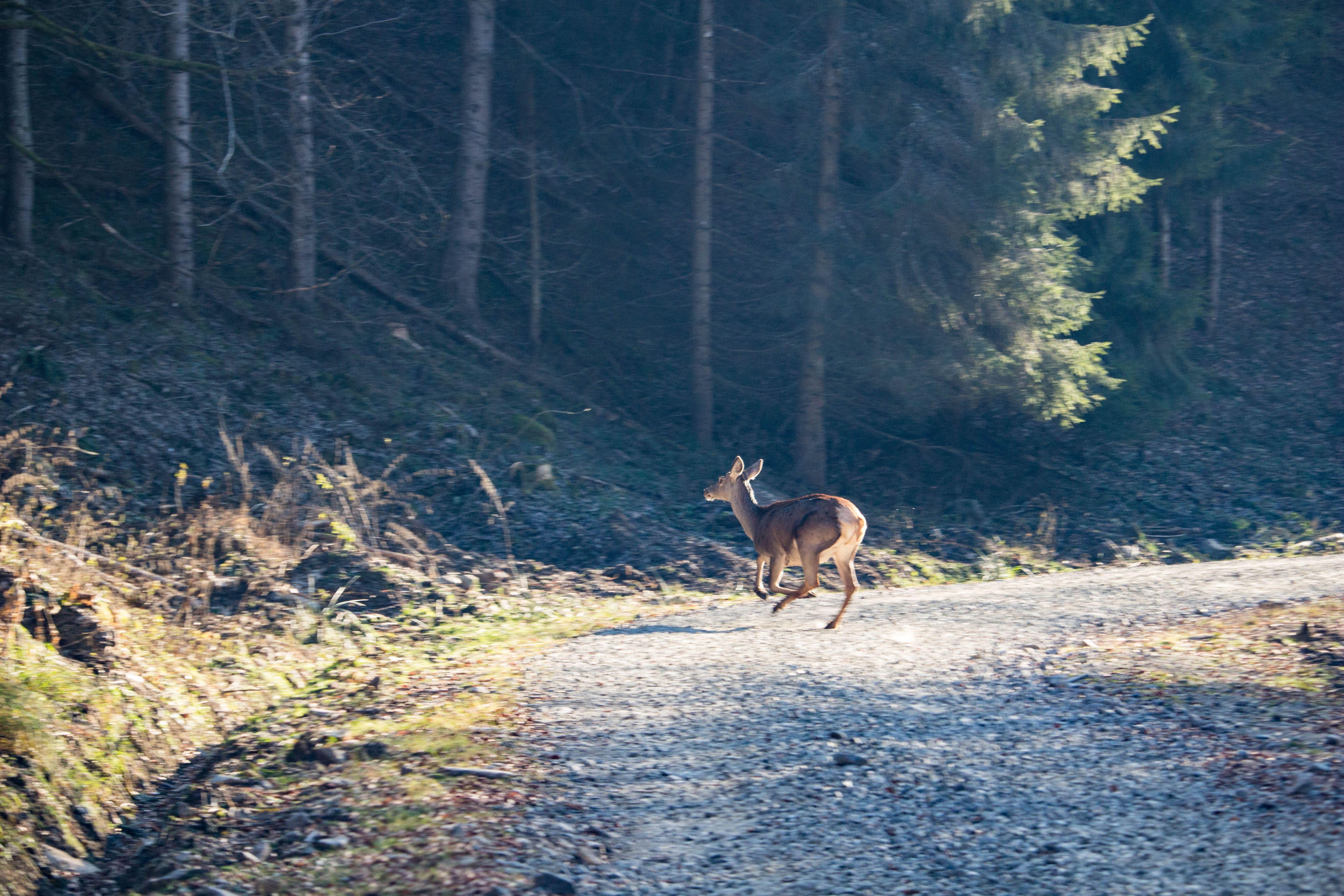 Szarvas a téli erdőben