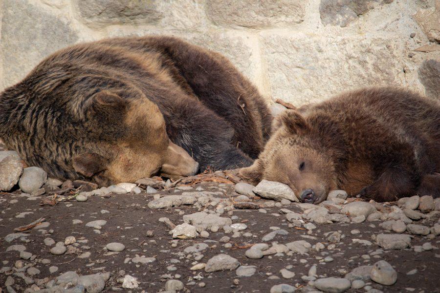 Alvó medvék