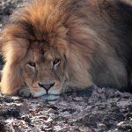 Unatkozó oroszlán