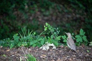 Énekes rigó (Turdus philomelos)