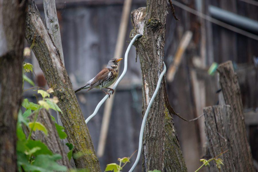 Fenyőrigó (Turdus pilaris)
