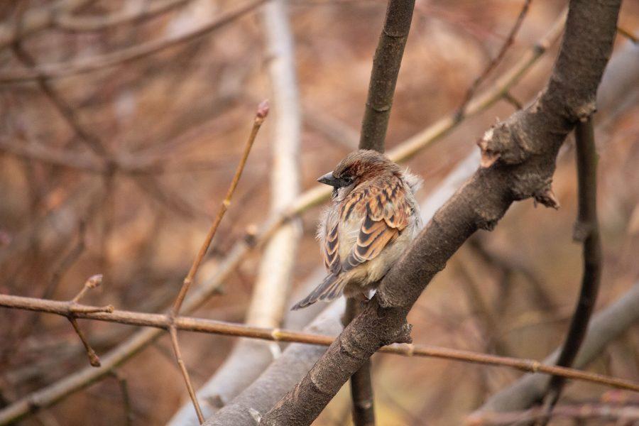 Hátra tekintő madár