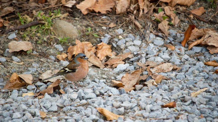 Erdei pinty (Fringilla coelebs)