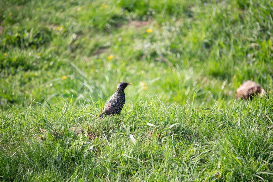 Seregély a zöld fűben