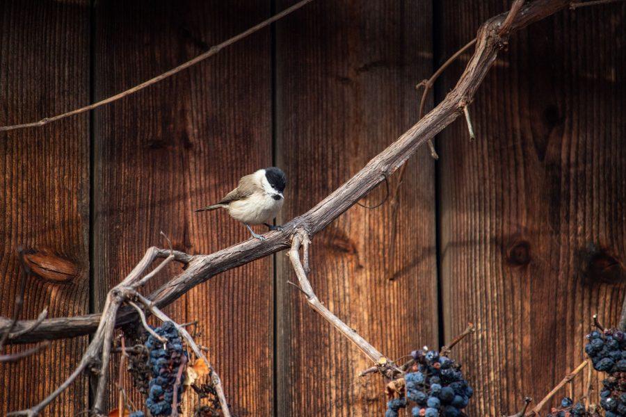 Barátcinege (Poecile palustris)