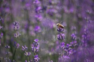 Méhecskék a levendulásban