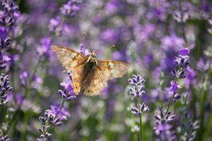 Pillangó a levendula virágon