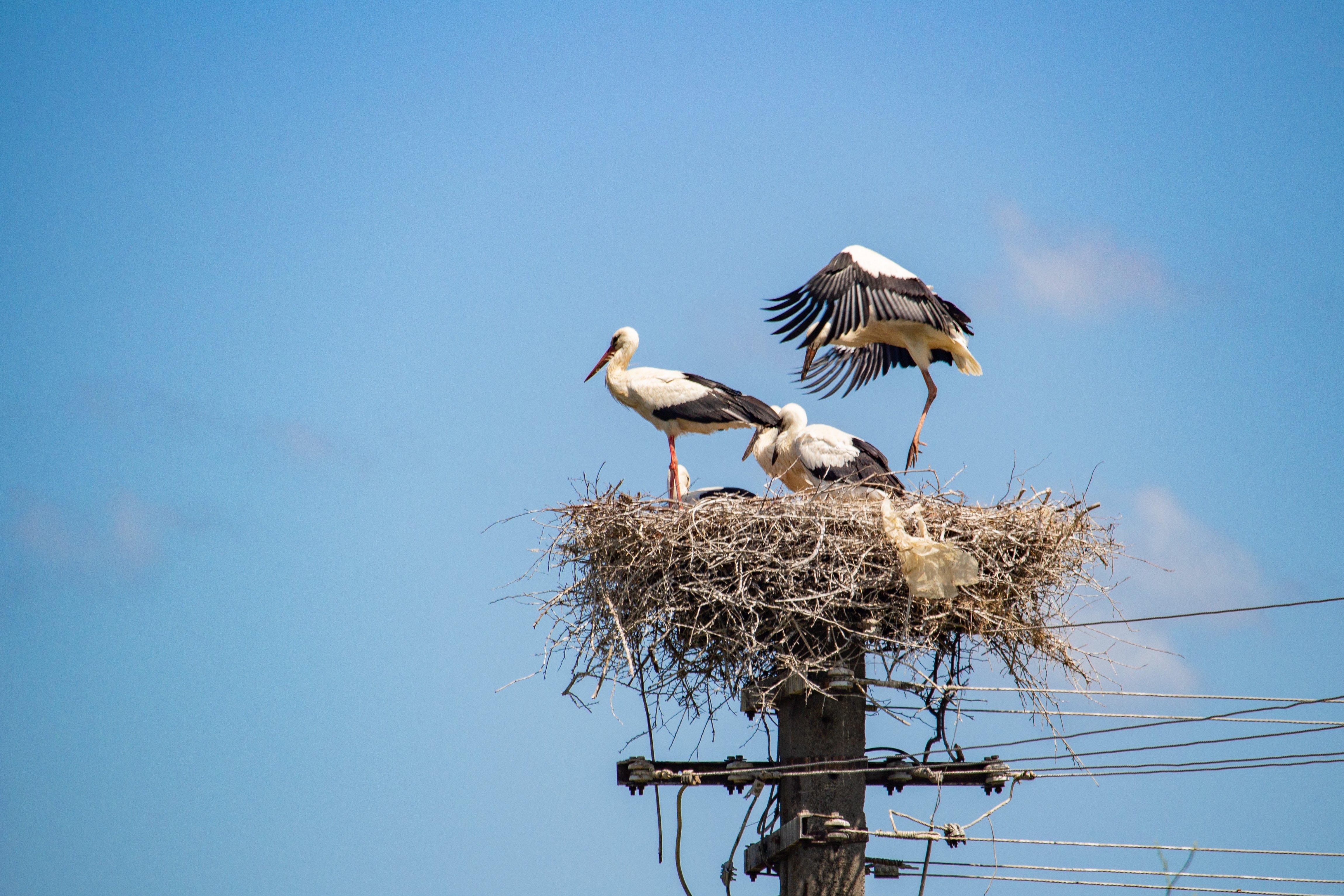 Érdekességek a fehér gólya fészkében