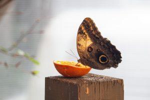 A pillangók kedvenc eledele a narancs
