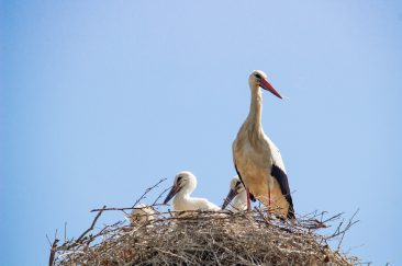Fehér gólya - Erdélyi képek