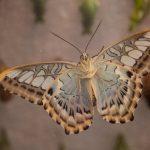 Malachit lepke (Siproeta stelenes)