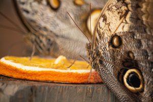 Pillangók Parajdon a trópusi lepkeházban