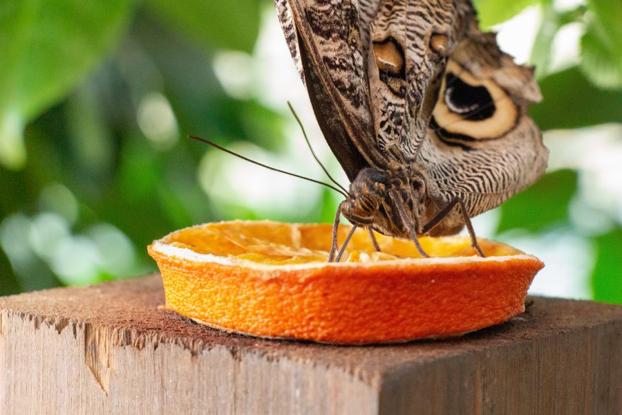Vajon mit esznek a trópusi lepkék?