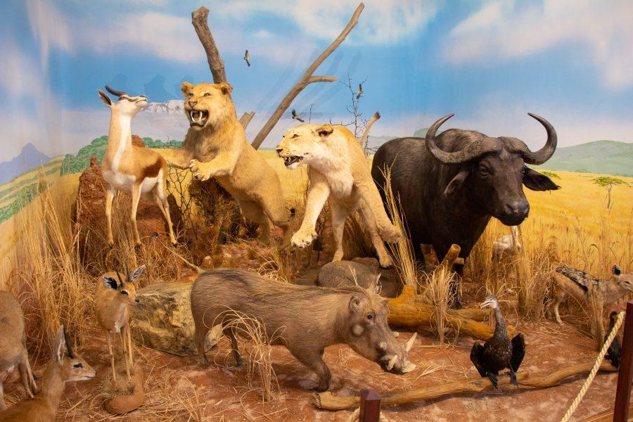 Afrika állatai Sepsiszentgyörgyön