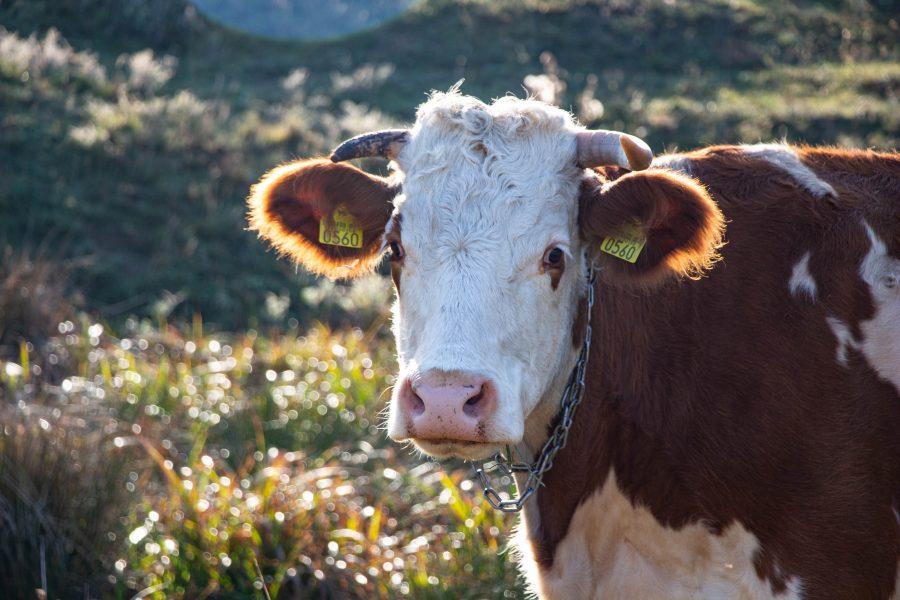 Legelő tehén Üvegcsűr határában