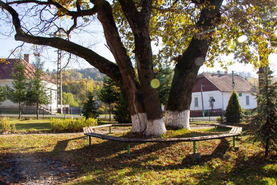 Meseszép, nagyon öreg fa a Görgényüvegcsűri Általános Iskola udvarán