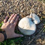 Mezei csiperke (Agaricus campestris)