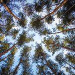 Korona félénkség - Titokzatos módon a fák lombjai nem érintkeznek egymással