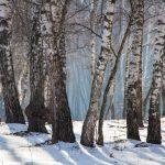 Nyírfa erdő