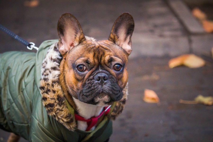 Francia Bulldog őszi színekben