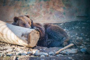 Medvék a Marosvásárhelyi Állatkertben