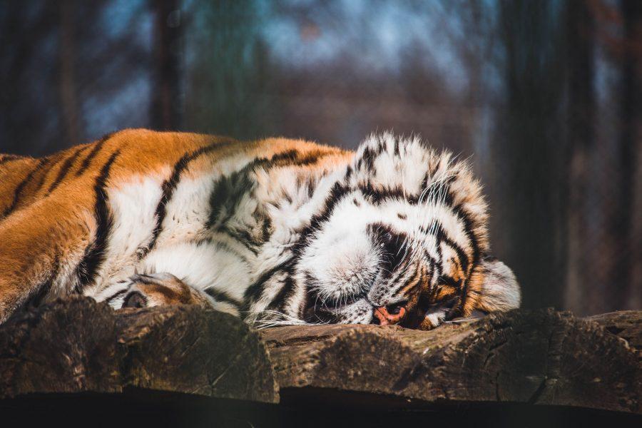 Tigris a Marosvásárhelyi Állatkertben