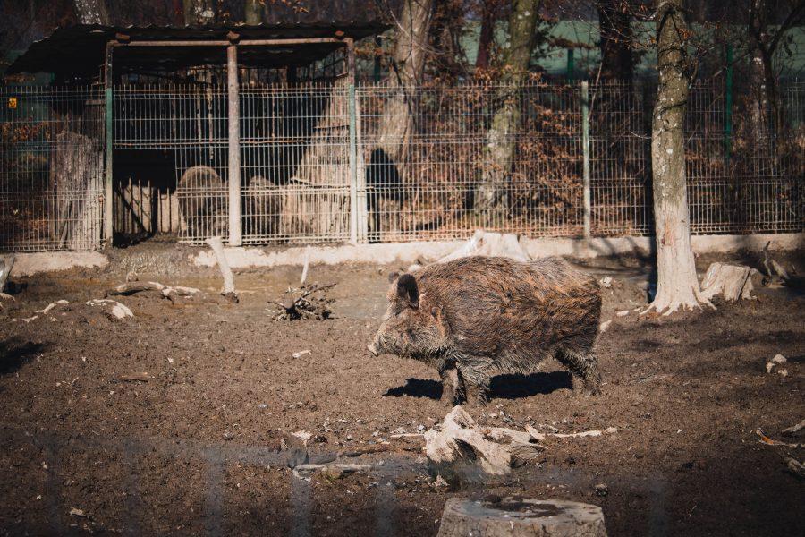 Vaddisznó a Marosvásárhelyi Állatkertben