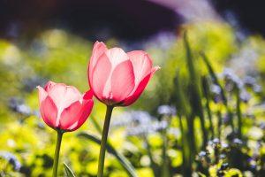 Tulipán párban