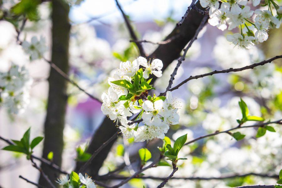 Virágba borultak a fák