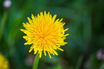 Sárga mezei virágok - Erdélyi képek