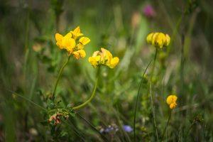 Szarvaskerep (Lotus corniculatus)