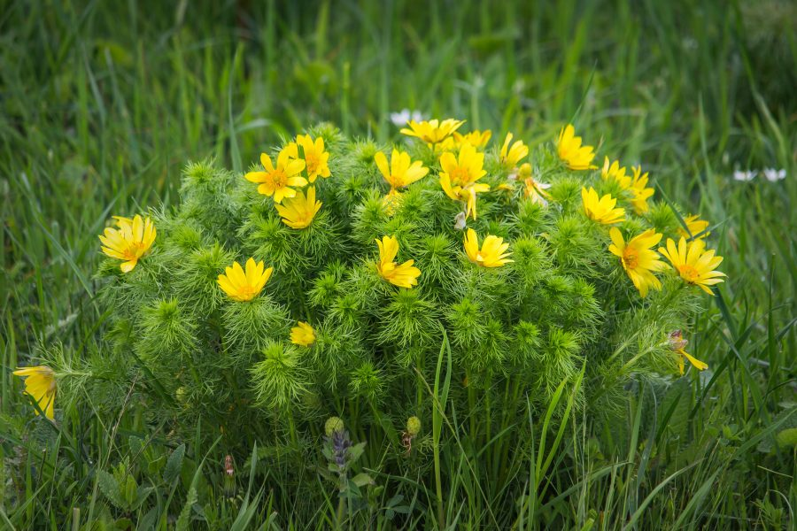 Tavaszi hérics (Adonis vernalis)